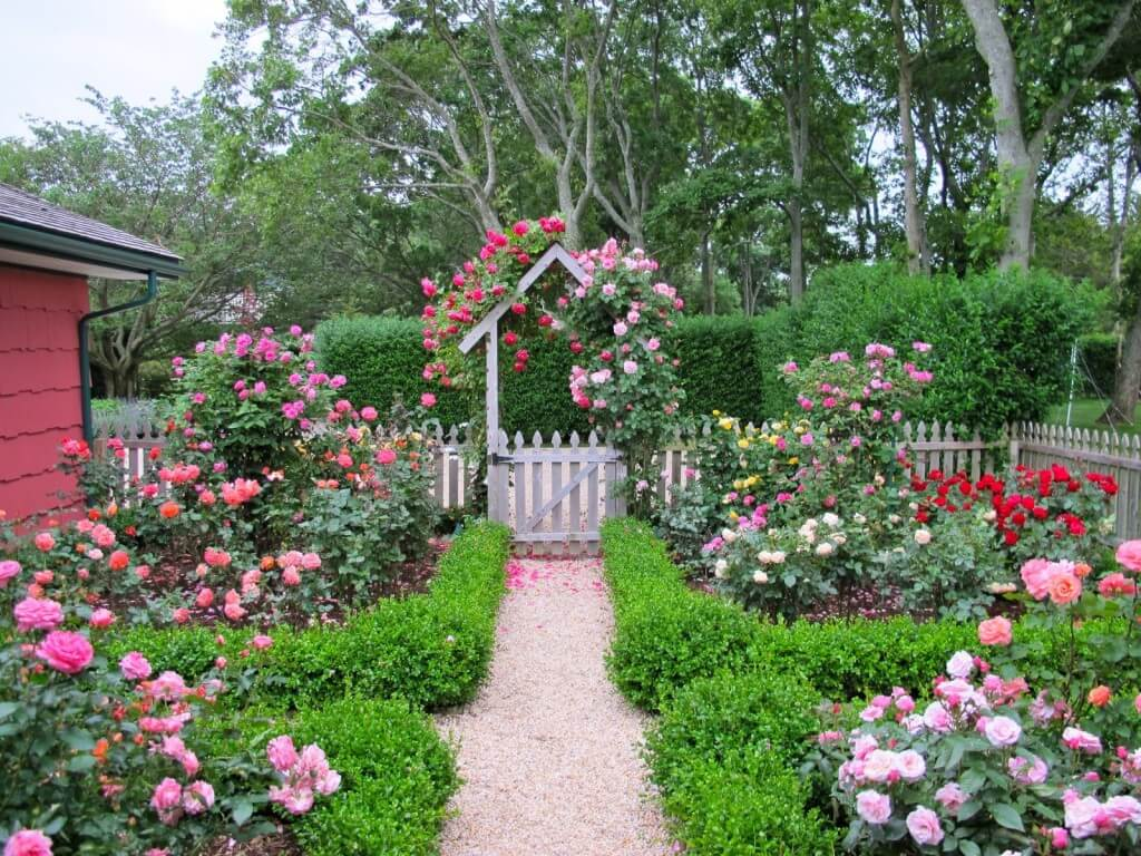Climbing Roses on the Gate