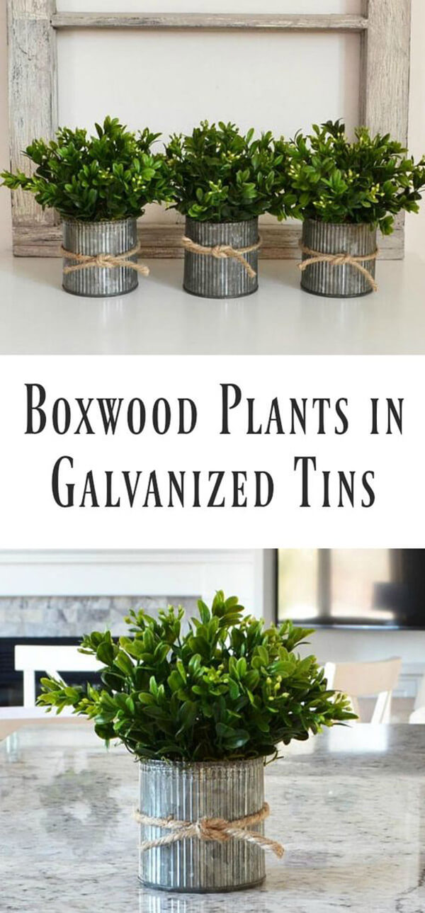 Cute Boxwood Plants in Galvanized Tins