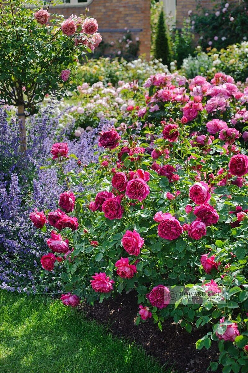 Romantic Rose and Lavender Garden